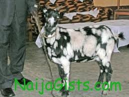 man ordered to pay bride price on goat in zimbabwe