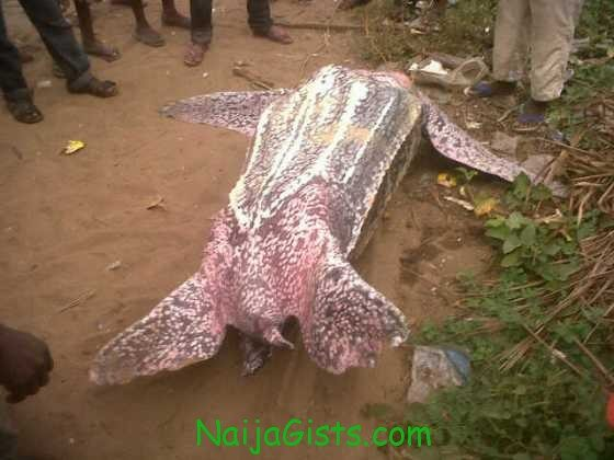 sea turtle eleko beach nigeria