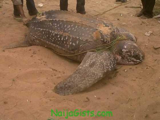 giant sea turtle at eleko beach in lagos