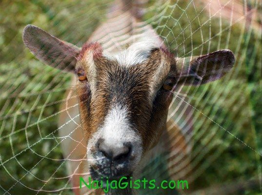 boy turned into goat in Port harcourt