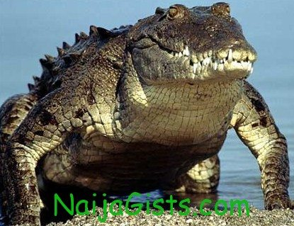 crocodile lagos ikotun igando nigeria
