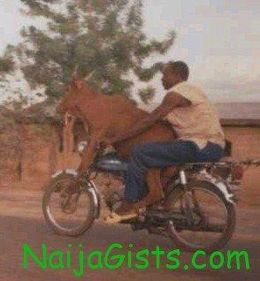 cow on okada funny naija pictures