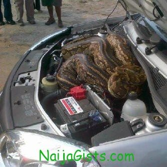 giant snake pulled out of car