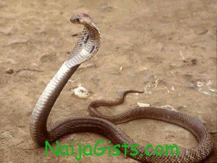 hausa cobra snake pdp