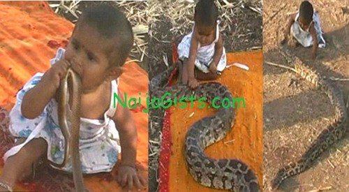 indian baby python snake