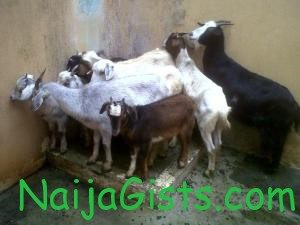 5 goats arrested in osogbo osun state