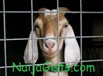 goats arrested in nigeria police