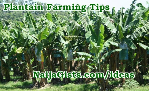 how to start lucrative plantain farming nigeria ghana