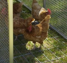 nigerian boy locked chicken cage