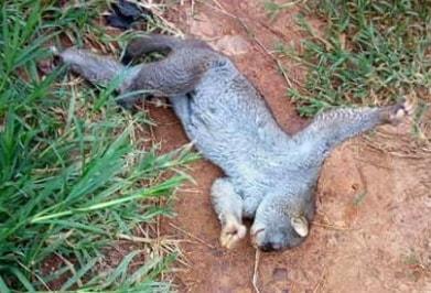 sloth killed edo state nigeria