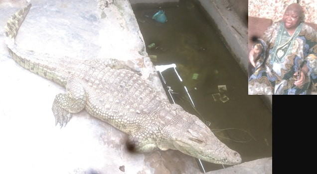 78 year old crocodile ibadan oyo nigeria