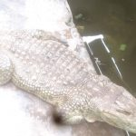 78 year old crocodile ibadan nigeria