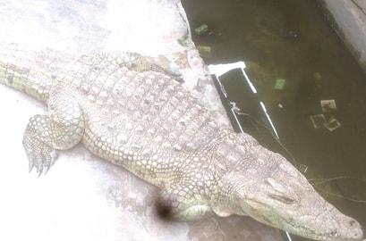 78 year old crocodile ibadan nigeria