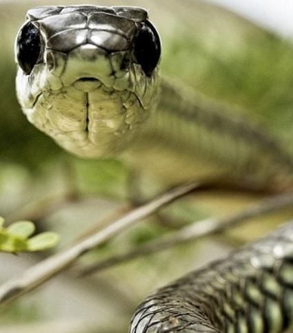 man take selfie reflection boomslang snake