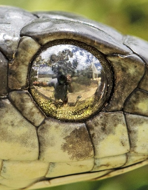photographer takes selfie eye boomslanger snake south africa