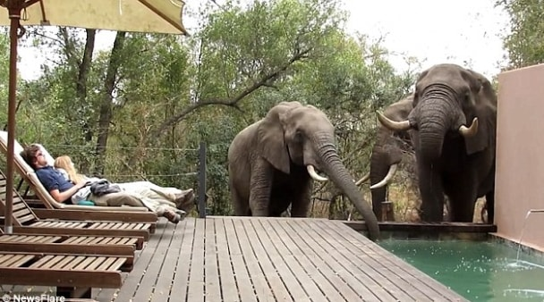 elephants swimming pool