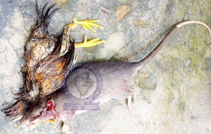 rat kill chicken ekiti nigeria
