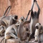 indian man stoned death monkeys