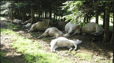 thunder kills 23 cows iloro ekiti