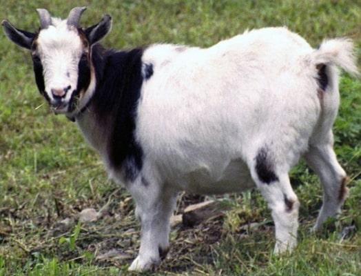 Nigerian Dwarf Goat Lifespan