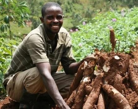 cassava farming profitable