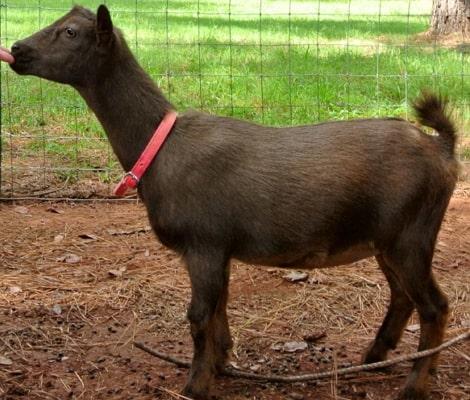 nigerian dwarf goats history