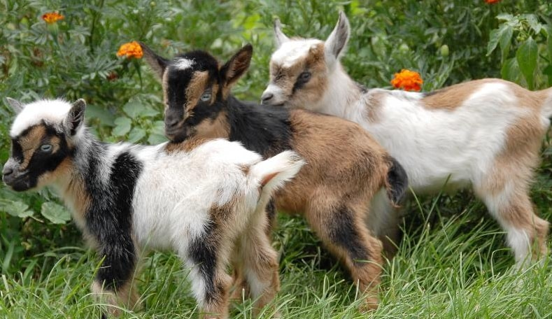 Nigerian Dwarf Goats History Lifespan Names Size Weight Milk Other Important Facts