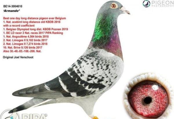 armando racing pigeon sold