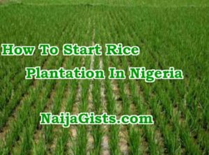 How To Start Rice Farming, Cultivation & Production Business In Nigeria In 2019 & Beyond