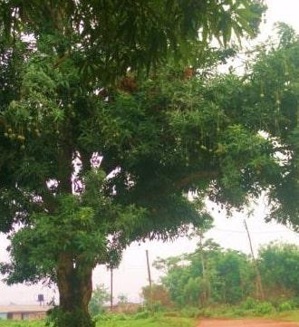 pastor son falls off evil mango tree