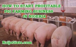 How To Start Pig Farming Business In Nigeria (Is Piggery Profitable In Nigeria? Find Out Here)