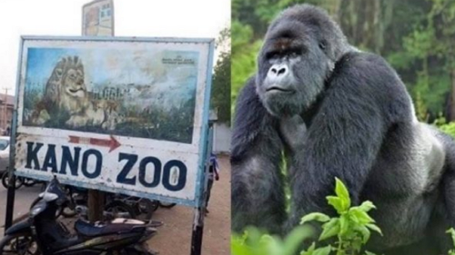 gorilla swallows money kano zoo