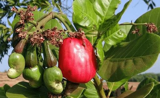 cashew nut farming nigeria profitable