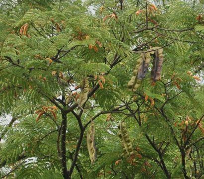 aridan fruit tree